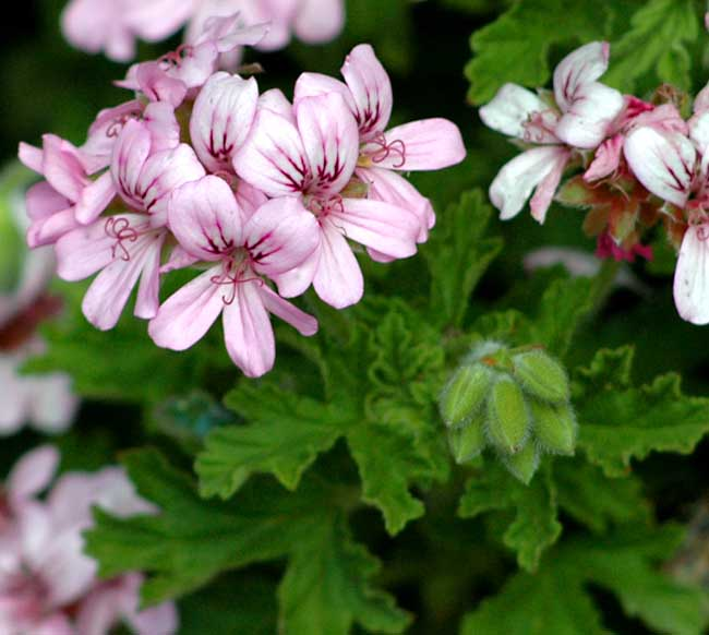 Essential oils essential to me for Pelargonium graveolens